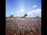 Козы тусуются на плантации алоэ вера