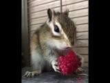 Бурундук ест малину