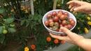 Томаты помидоры Черри сорта Вишня Чёрная Сбор урожая 27 Августа 2016