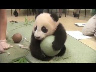 Панда-жадина