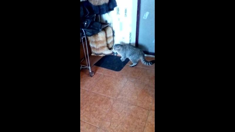 17 января 18г.Савва гуляет по коридору и кухне- лечим лишай и ко всем кошечкам его пока низзя))