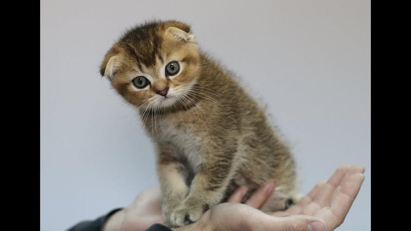 Шотландские золотые тикированные котята питомника PCA КОРЕЛЬ БЕРГЕН