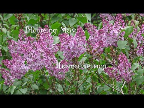 Цветение мая   Blooming May