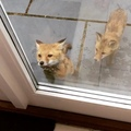 Woke up early to find these feisty little fox cubs scrabbling at the back door! Think they must be confused by seein...