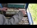 Борьба с роением пчел Лучшие по простоте три метода