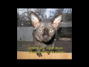 СФИНКСЫ это АДСКИЕ КОШКИ и по ЧЕРТОВСКИ смешные Hellcat sfinsky and it is damn funny 1