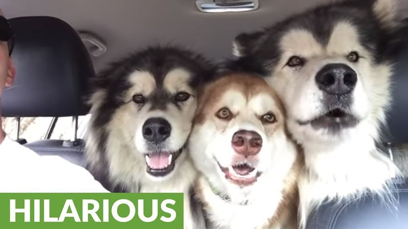 Alaskan Malamutes Sing In Perfect Harmony During Car Ride