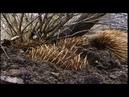 Самое необычное животное в мире. Утконос