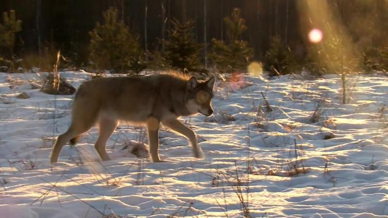 Документальный фильм Сезон охоты волков смотреть онлайн без регистрации