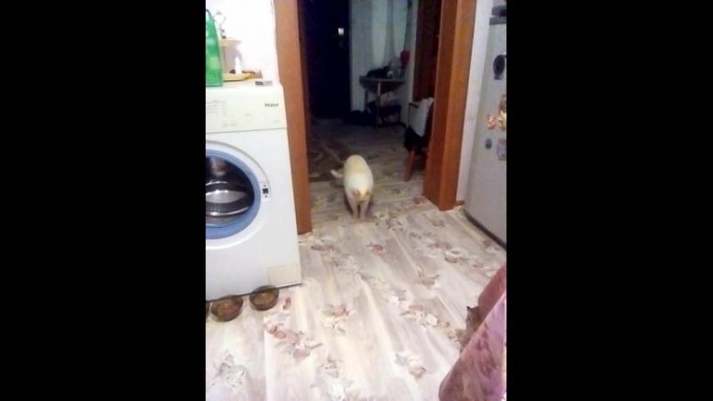 Ушедший белоснежный мой мишка Тутошка ( Маська )