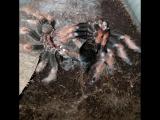 Ускоренная линька паука-птицееда Brachypelma boehmei (Трек Tool - Parabola)