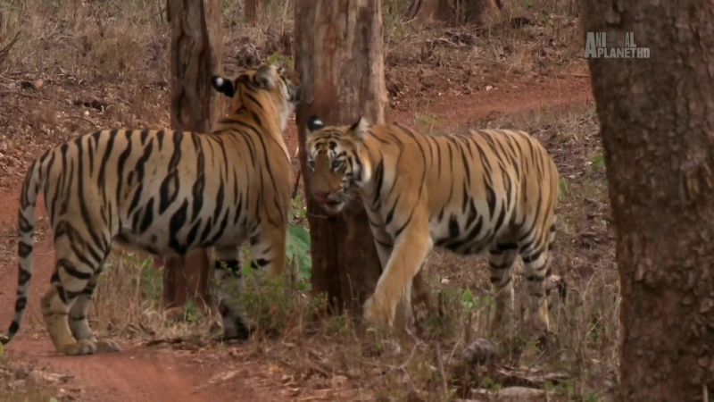 Animal Planet. Банда тигриц / Tigress Blood (2014) HDTV 1080p