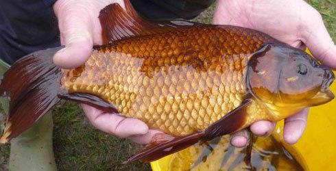 Рыба карась-карп
