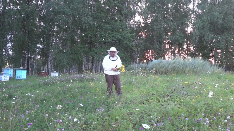 Сбор лекарственных трав на пасеке в Башкирии