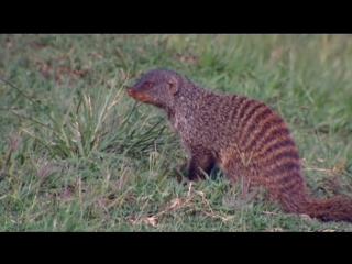 BBC «Полосатые братья: Банда мангустов» (4 серия) (Документальный, природа, животные, 2009)