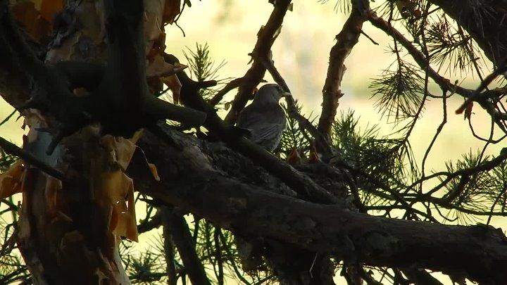 Гнездо дрозда-рябинника