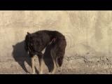 «Проволока впилась в её тело так, что было больно смотреть…» Видео о том, как жители Улан-Удэ спасали собаку