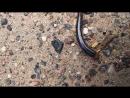 отвлекающий маневр Веретеницы ломкой