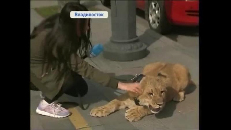 Африканский лев гуляет с хозяйкой по улицам Владивостока.