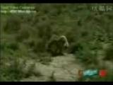 Türk Aslanı Kangal
