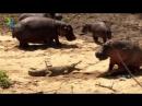 Небольшой нильский крокодил нападает на бегемота