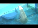 Сафари парк Геленджик купание белого медведя-2018