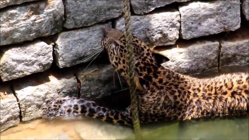 В Индии местные жители спасли дикого Леопарда , который оказался в колодце ...
