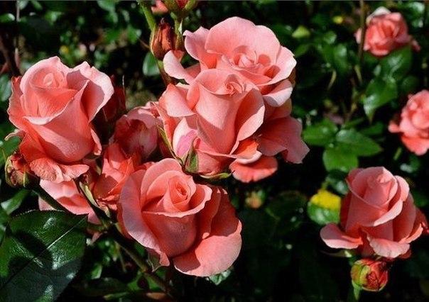 весенний уход за розами март. в марте в средней полосе россии еще лежит снег, особых работ в саду нет. однако очень хорошо прогуляться, подышать свежим воздухом, одновременно утаптывая снег