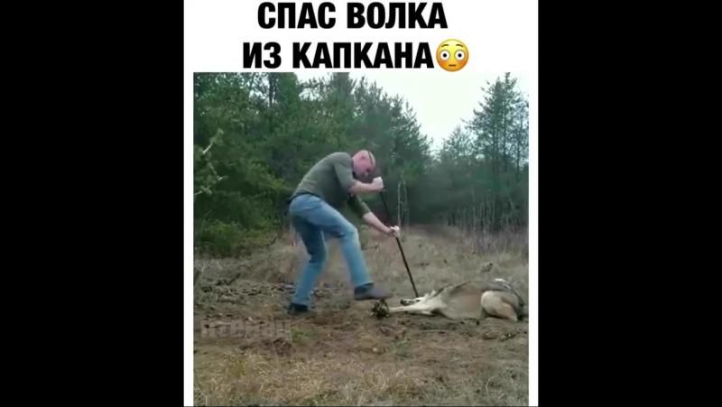 Спас волка из капкана [MDK Dagestan]
