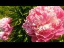 Мои цветы Цветы на даче Музыка цветов