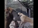 kangal_team_BfiTDaBHzHB.mp4