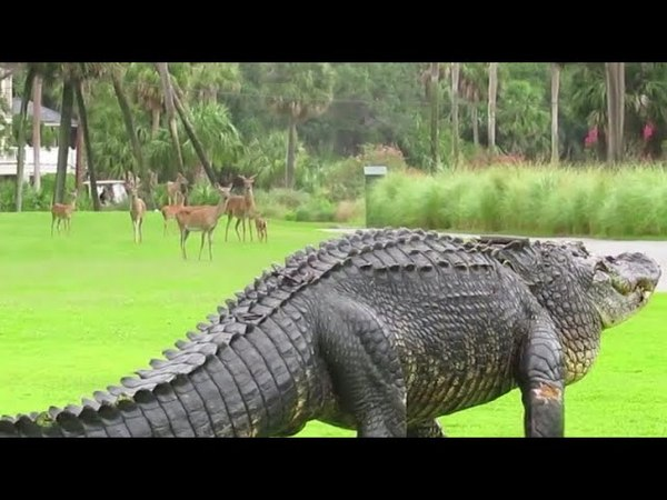 Deer family stunned when faced with monster-sized gator in South Carolina