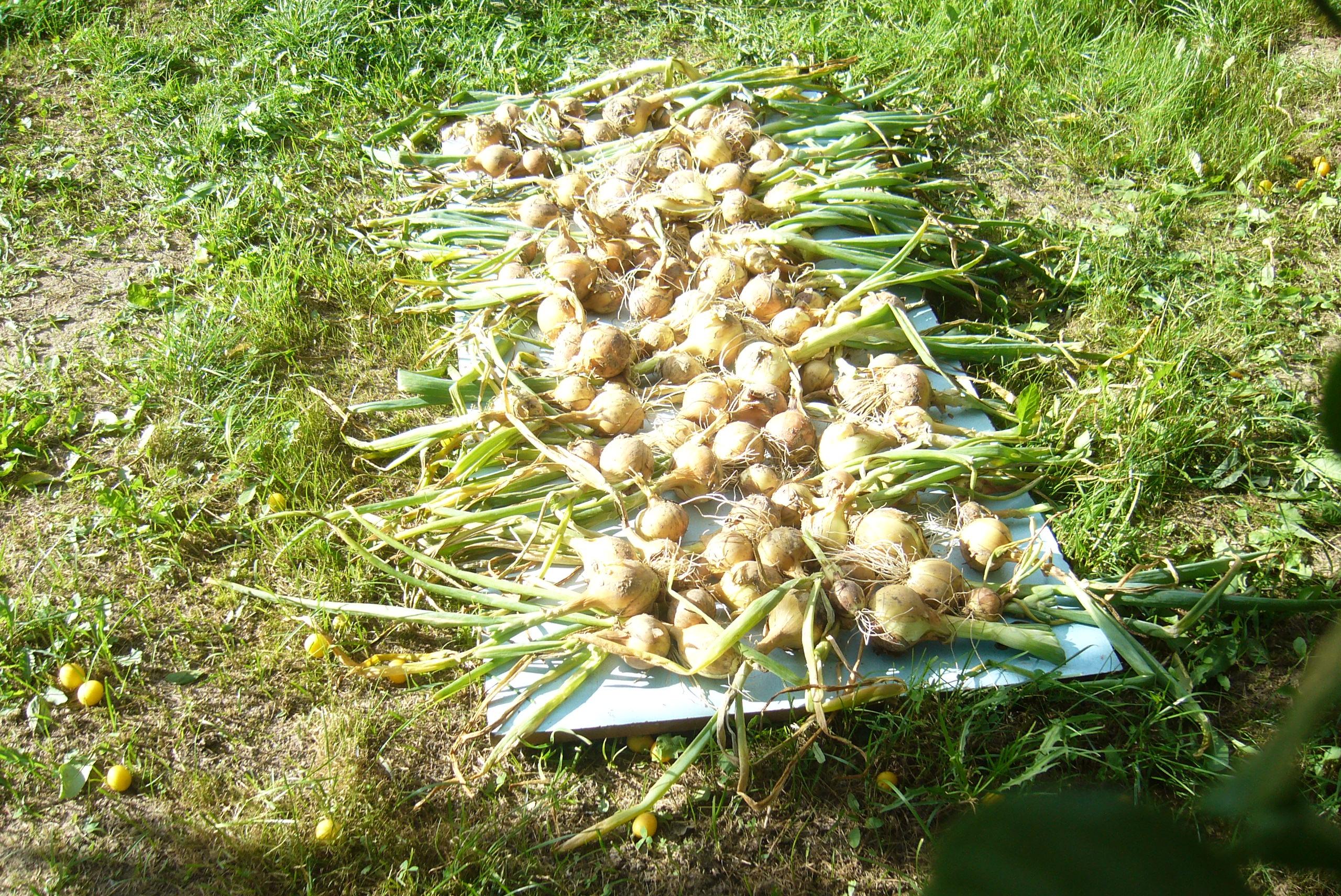 Настало время собирать камни лук урожай