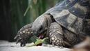 Черепаха Гриша (Черногория, Зеленика)