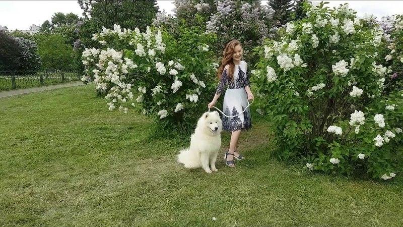 КИНОпёс самоед Холли Фотопроект в Сиреневом саду