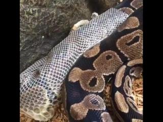 Так должна проходить линька у змей, при нормальных условиях содержания.