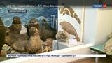 Новости на Россия 24 • На Командорских островах обнаружили целый скелет исчезнувшей стеллеровой коровы