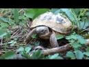 Среднеазиатская черепаха (Our Nature)