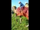 Власик дорвалась до верблюдицы Глаши