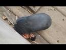 Черный медведь напал на мужчину в Таиланде