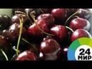 Армения отправит в ЕАЭС мясистую черешню урожай уже поспел МИР 24