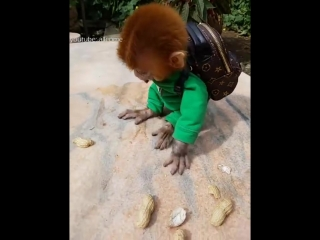 The pocket monkey fills up a bag of peanuts, Its so cute