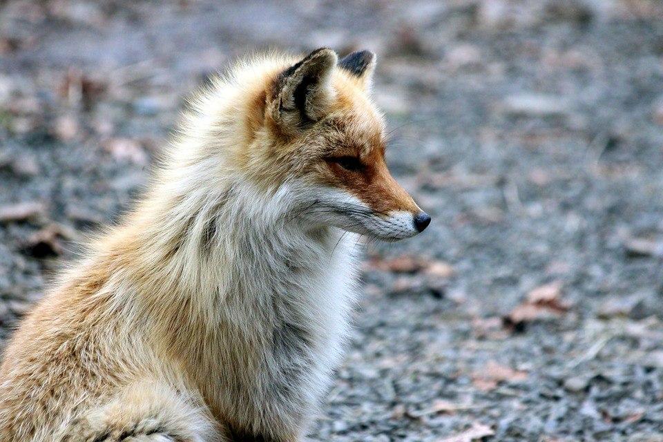 В четырех районах Сибири объявлен карантин по бешенству лис