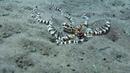 Самый умный осьминог в мире МИМИК ОСЬМИНОГ