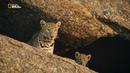 Nat Geo Wild Скала леопардов 1080р