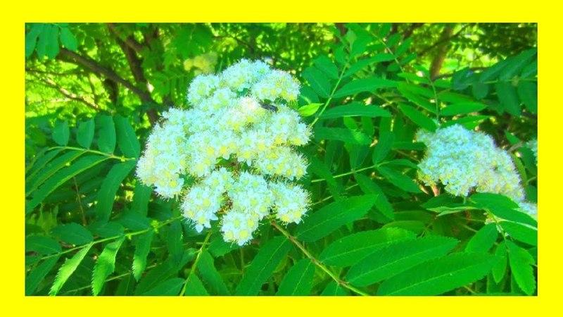 Цветёт рябина белая 🌺 🌸Этот прекрасный мир!
