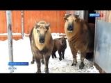 Важное событие в Московском зоопарке в его питомнике под Волоколамском у краснокнижных парнокопытных  сычуаньских такинов  ро