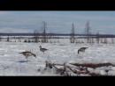 Охота на Ямале