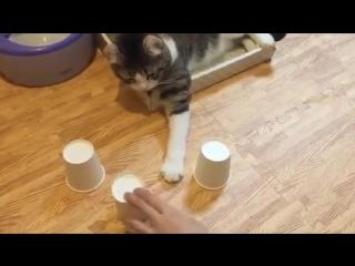 Кот угадывает где шарик