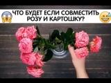 Что будет если совместить розу и картошку?